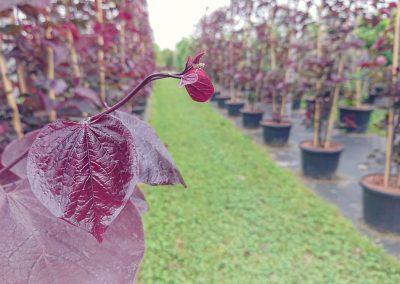 rostliny ze zahraničí dawyck