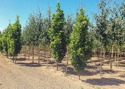 stromky ze zahraničí dawyck