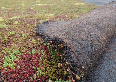 zelený koberec sedum plocha